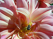 Dahlia With Bee ~ Bee resting in the yellow center of a beautiful and graceful pink Dahlia.<br />