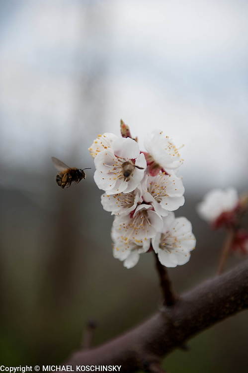 Apricot Blossoms with Bee and Bublebee