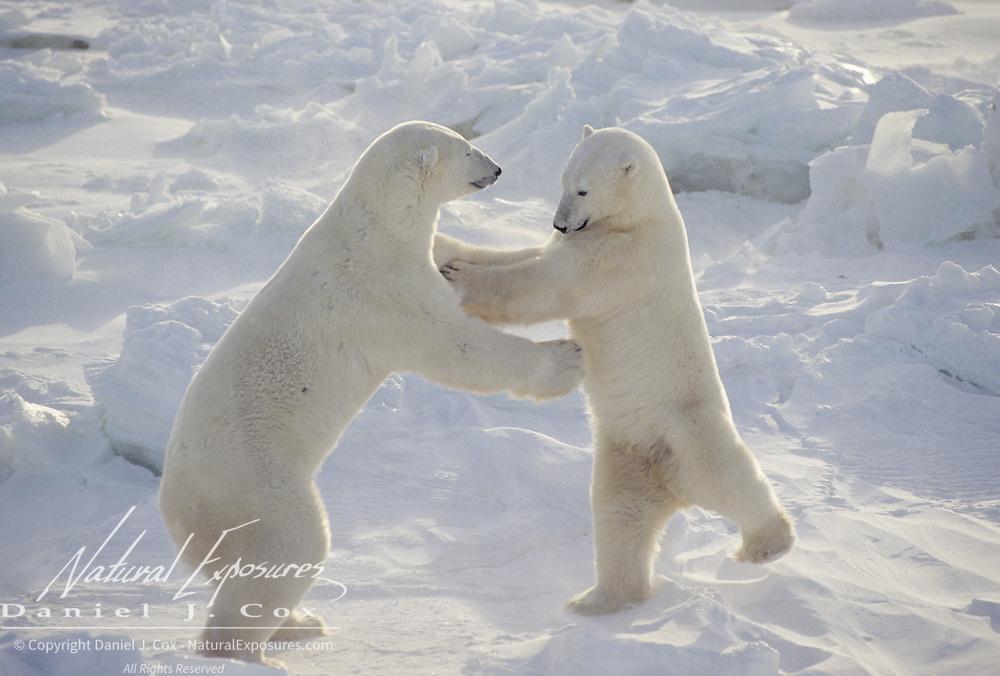 Polar Bears wrestling. Hudson Bay, Canada