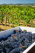 Freshly-picked bunches of Sangiovese Chianti Classico grapes at Pontignano in Chianti region of Tuscany, Italy