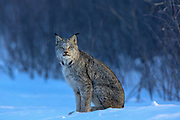 Adult Canadian lynx (Lynx canadensis) hunting in Superior National Forest, Minnesota. Wild, non-captive, non-baited.
