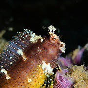 Starry Blenny Salarias ramosus at Lembeh Straits, Indonesia.