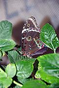 Lasiommata maera orientalis, Butterfly, Israel, October 2006
