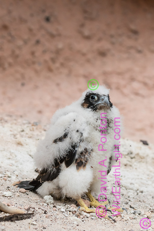 Nestling peregrine falcon at the base of the cliff below the eyrie cave, prematurely fledged at about 3 weeks of age by an unknown cause, siblings died in the fall. © 2015 David A. Ponton