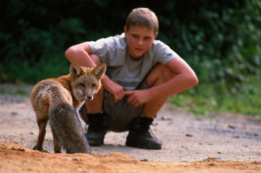 Young red fox with boy