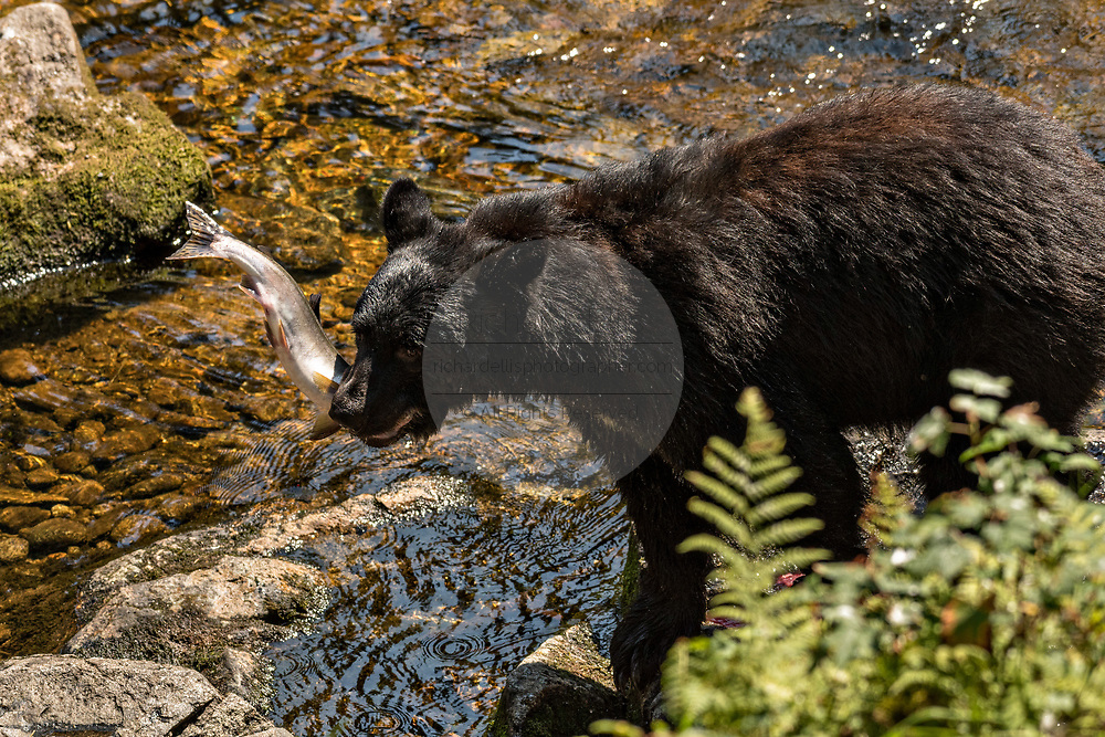 An adult American black bear grabs spawning salmon at Anan Creek in the Tongass National Forest, Alaska. Anan Creek is one of the most prolific salmon runs in Alaska and dozens of black and brown bears gather yearly to feast on the spawning salmon.