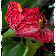 Anthurium in outdoor flower shop.<br /> <br /> Anthurium  is a genus of about 1000 species of flowering plants, the largest genus of the arum family, Araceae. General common names include anthurium, tailflower, flamingo flower, and laceleaf