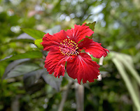 red flower in El Yunque rainforest 2