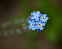 Forget-me-not. Image taken with a Leica CL camera and 60 mm f/2.8 lens.