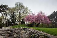 Rocks and Cherry Blossoms on Cedar Hill in Central Park