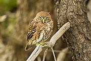 An Austral Pigmy-owl perches for a moment while hunting near El Chorrillo del Salto, El Chalten, Patagonia.