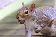 04/03/2002 - Spring Lake, NJ - A gray squirrel, Sciurus Carolinensis, looks at the camera with what I think is a defensive stance...Jack Howard Photograph