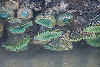 These beautiful coldwater-loving anemones are a shocking green color and are found along the Pacific Northwest Coast along the intertidal zone to about 15' deep.  These were found on a rock at low tide and photographed through still water on Oregon's Northern coastline at low tide at Hug Point.