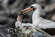 Nazca booby (Sula granti)<br /> Española Island<br /> GALAPAGOS,  Ecuador, South America