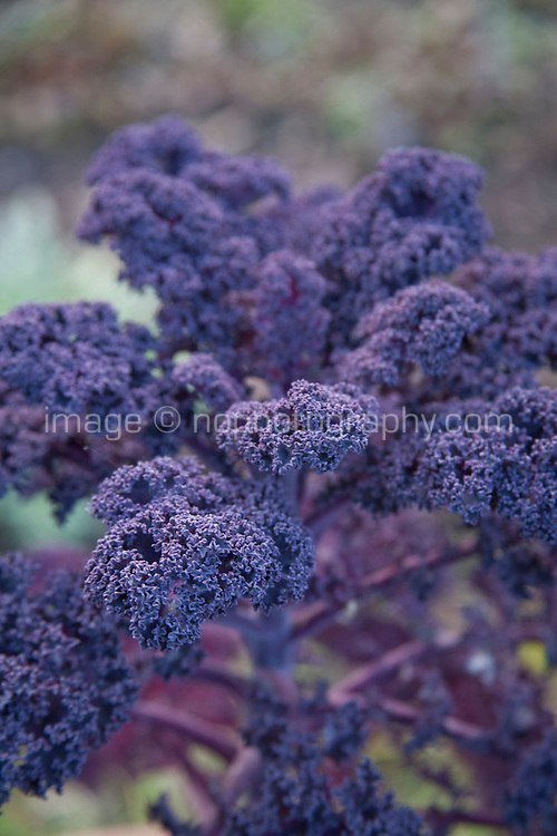 Borecole Kale, F1 Redbor variety growing in an Irish garden