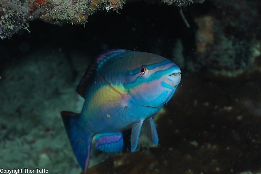 Princess Parrotfish.