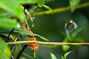 White-lored Euphonia (Euphonia chrysopasta)<br /> Yasuni National Park, Amazon Rainforest<br /> ECUADOR. South America<br /> HABITAT & RANGE: Subtropical or tropical moist lowland forests and swamps in Bolivia, Brazil, Colombia, Ecuador, French Guiana, Guyana, Peru, Suriname, and Venezuela.