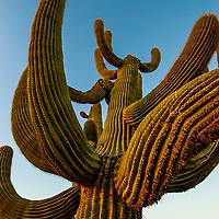 Old Saguaros