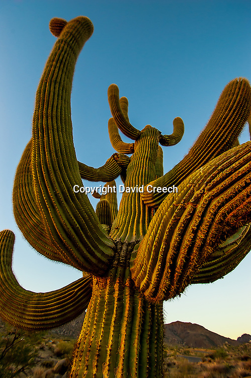 Sunrise light on the arms of an old Saguaro.