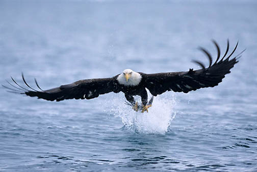 Bald Eagle, (Haliaeetus leucocephalus) Adult fishing. Alaska.