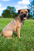 Border Terrier dog tired and sitting down