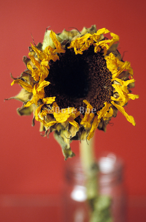 Dried sunflower in a glass jar