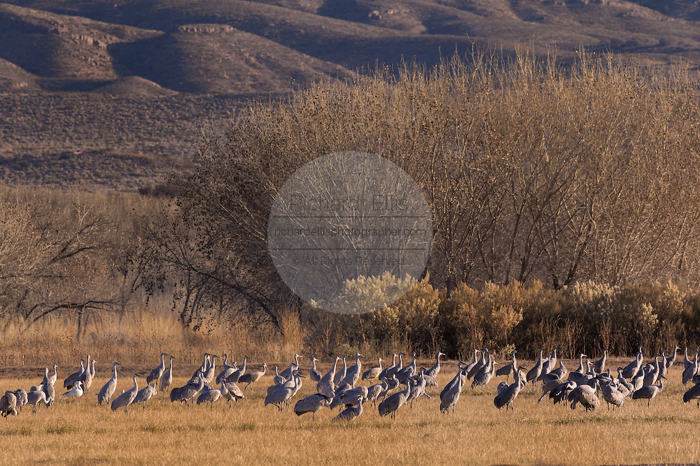 Sandhill Cranes forage in a field with the at the Bosque del Apache National Wildlife Refuge in San Antonio, New Mexico. Thousands of Sandhill Cranes spend the winter in the refuge on the northern edge of the Chihuahuan desert.