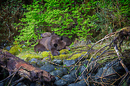 Mama Grizzly naps while daughter watches