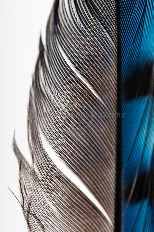 Intricate details of a Blue Jay feather