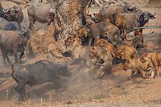ZIMBABWE Lion vs Buffalo