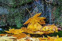 Autumn Bigleaf Maple [Acer macrophyllum] leaves in forest spring pool; Yosemite National Park, CA