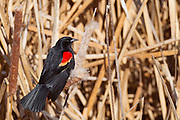A red-winged blackbird (Agelaius phoeniceus) rests on cattails in the Columbia National Wildlife Refuge near Othello, Washington.