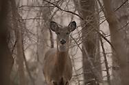 Platte River valley, Nebraska.<br /> <br /> White-tailed deer in riparian woodland.