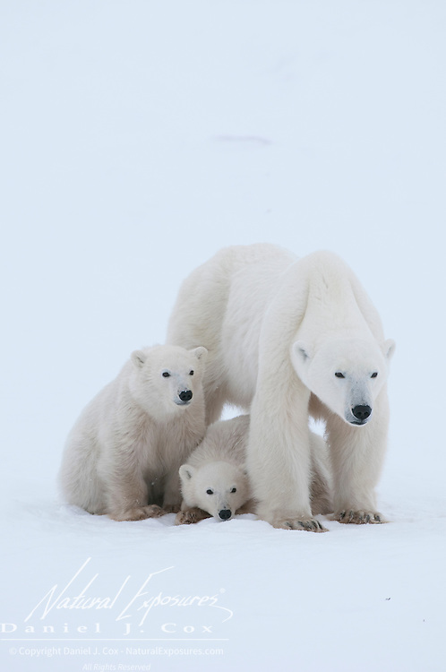 A very skinny polar bear mother and her cubs near Cape Churchill, Manitoba, Canada.