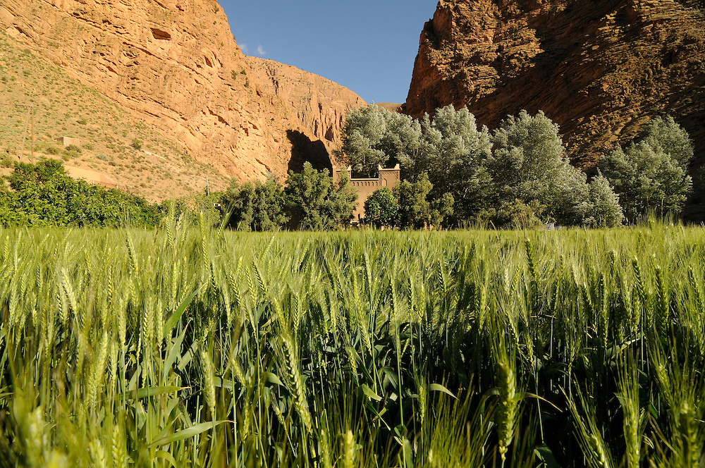A fortness or building and a wheat field in the Dades gorge in Morocco. Africa.