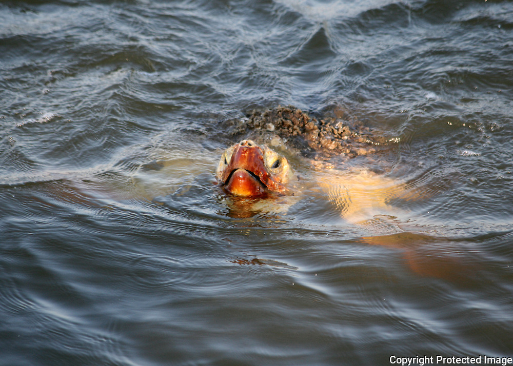 Sea turtle sticking it's head out of the water off Jekyll Island beach