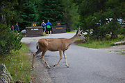 Mule deer at Jenny Lake Campground, at Grand Teton National Park, Wyoming