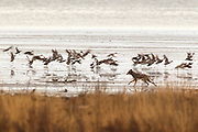 A coyote (Canis latrans) scares off a flock of ducks while trying to catch one along Boundary Bay in southern British Columbia, Canada. Coyotes most often feed on small mammals, but they will eat birds, snakes and even fruit and vegetables when their usual food source is scarce.