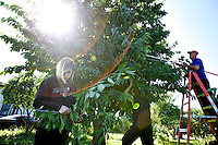 Makayla McIntosh, 13, removes cherries from a branch pruned from a tree by Mark Jones, supervisor of the Post Falls School District's Alternative to Suspension Program, right, and Devin Durbin, 16, during a harvest Thursday in Post Falls. The fresh fruit is donated by the property owner and then given to seniors in need.