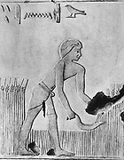 Man reaping barley with a sickle, probably of wood set with flint. From west wall of tomb of Urarna. Sheik Safd, c240 BC. Photograph c1910