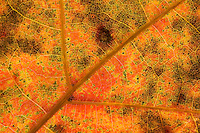 A close-up of a leaf that has turned red for the fall at Walden Pond.