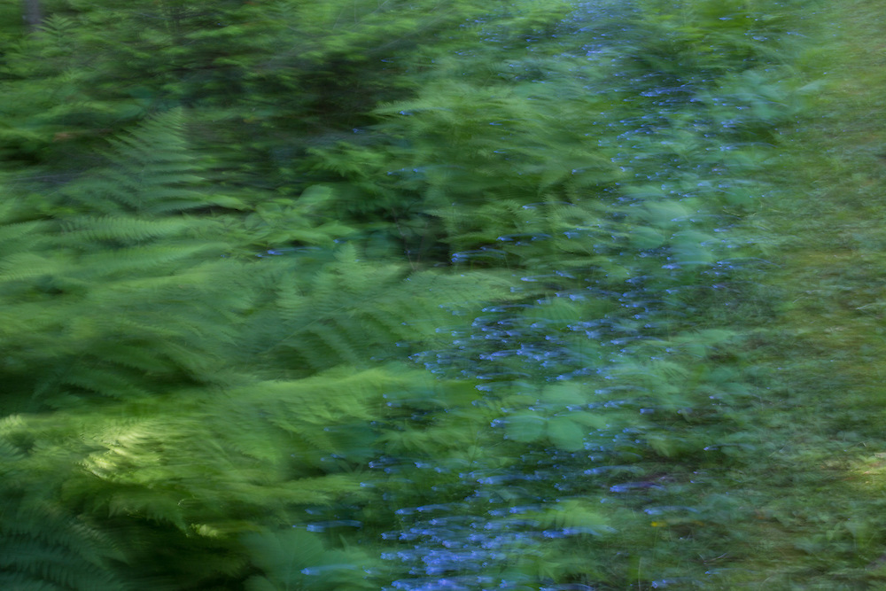 Ferns and bluebells line a path in summer, all rendered with intentional camera movement.