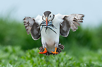 Papageitaucher im Flug, Farne Islands, England,