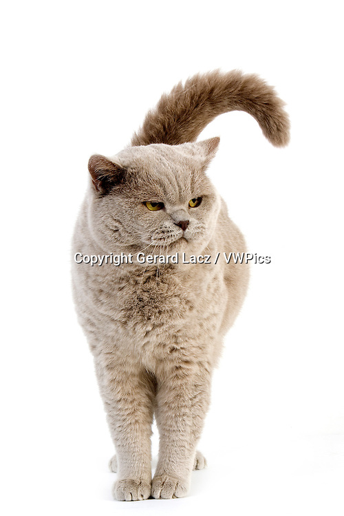 Lilac British Shorthair Domestic Cat, Male against White Background