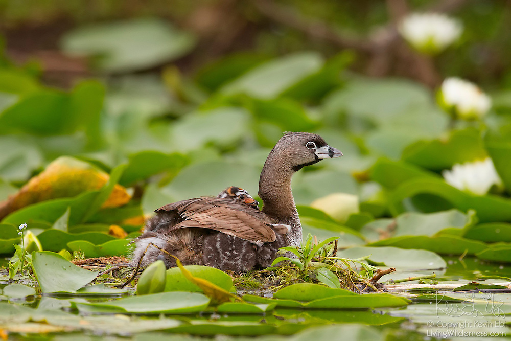 A young Pied-Billed Grebe (Podilymbus podiceps) rests on its mother's back on its nest in the Washington Park Arboretum, Seattle, Washington.