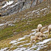 grizzly bear stalking bighorn sheep