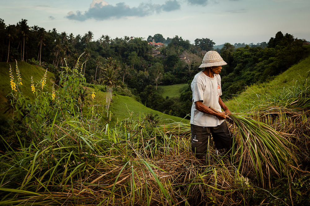 A farmer tends to his field in Ubud, Bali