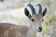Israel, Negev, Outskirts of Kibbutz Sde Boker, Nubian Ibex (Capra ibex nubiana AKA Capra nubiana) a young male Summer July 2008