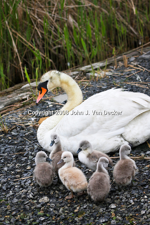 Mute Swan with brood..
