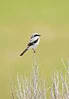 An immature Loggerhead Shrike you can tell by the brown feathers on the ends of its wings that have not changed to black.